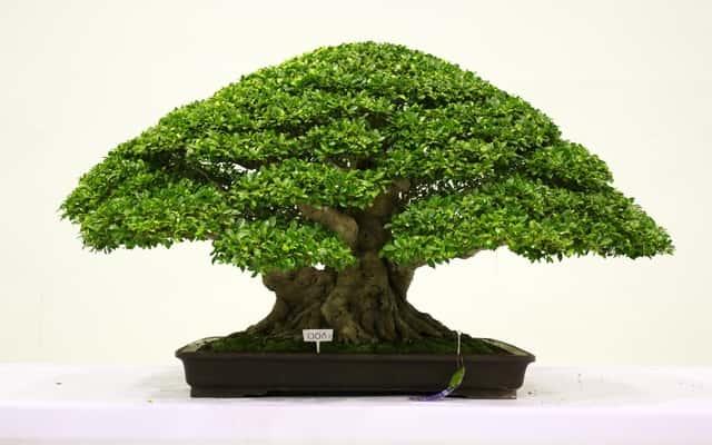 Fikus bonsai - pielęgnacja, porady, ciekawostki