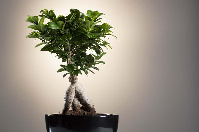 Ficus ginseng jako drzewko bonsai