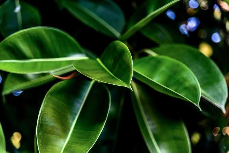 Zielone liście fikusa sprężystego