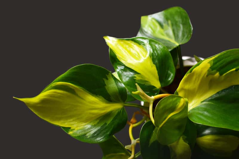 Filodendron pnący - wymagania, uprawa, pielęgnacja, podlewanie