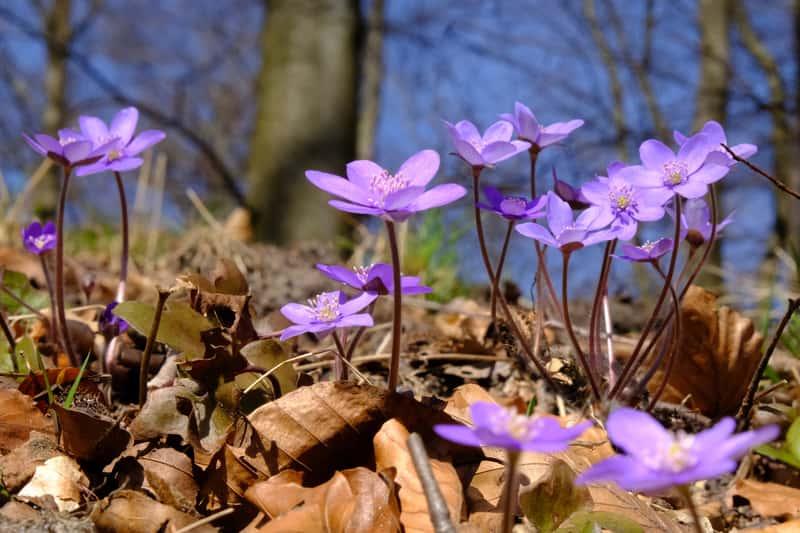 Fiołek leśny w czasie kwitnienia
