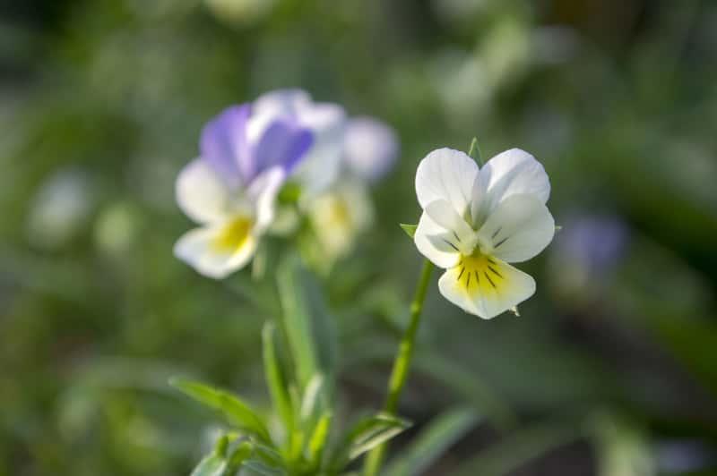 Kwiaty fiołka polnego