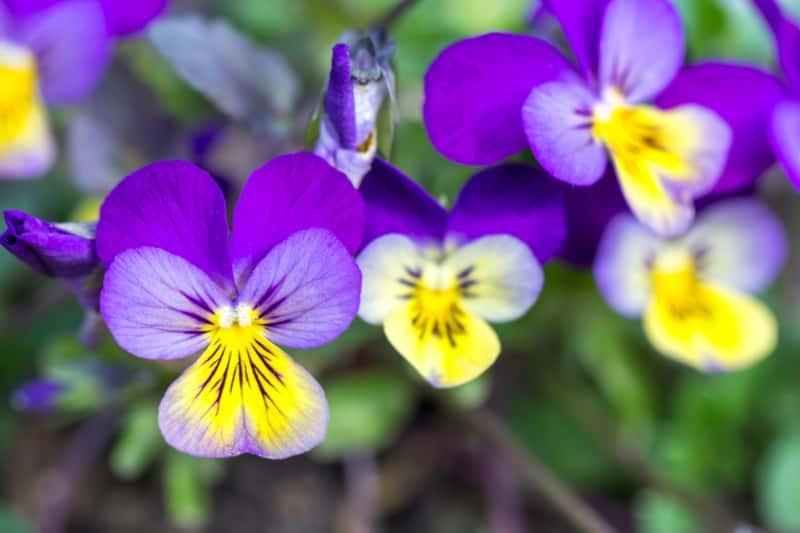 Fiołek trójbarwny w okresie kwitnienia