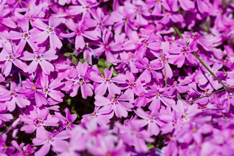 Floks szydlasty w czasie kwitnienia