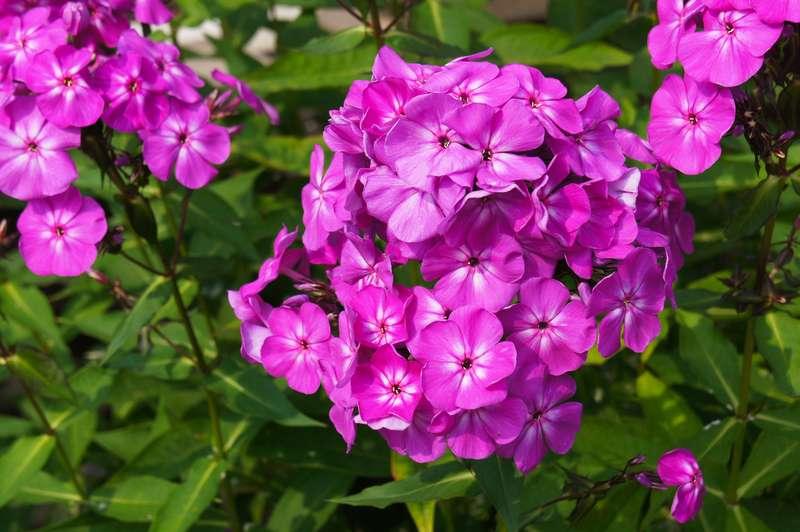 Filetowy floks w okresie kwitnienia