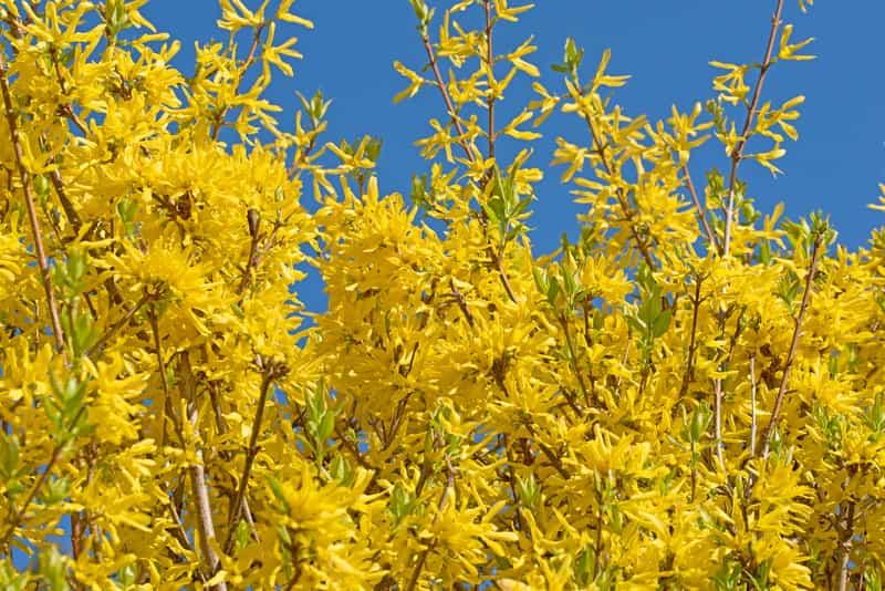 Piękna forsycja w okresie kwitnienia
