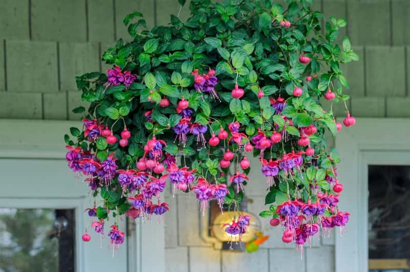 Przepieknie kwitnąca fukcja na balkonie