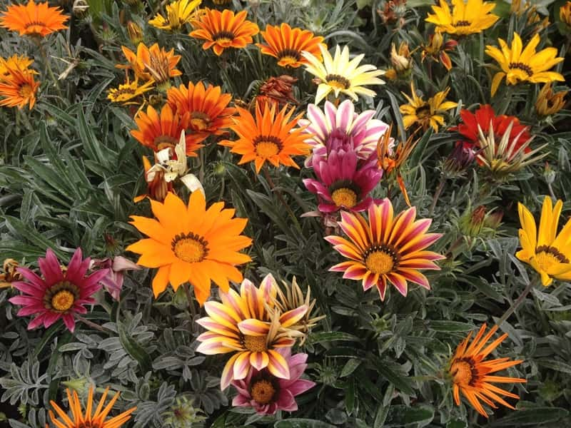Kwiat gazania w okresie kwitnienia
