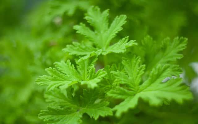 Geranium (anginowiec) - właściwości lecznicze, uprawa, ciekawostki