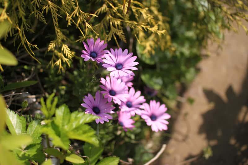Gerbera ogrodowa w czasie kwitnienia