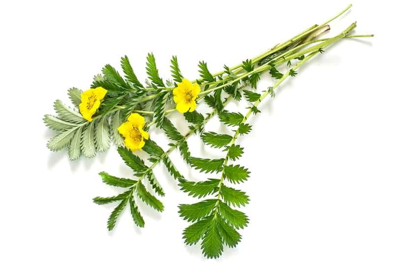 Pięciornik gęsi - sadzenie, uprawa, pielęgnacja, właściwości lecznicze i zastosowanie ziela