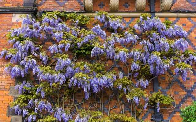Glicynia kwiecista i japońska - sadzenie, pielęgnacja, przycinanie