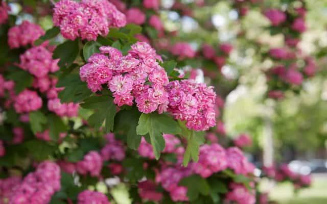 Głóg pośredni - odmiany, sadzenie, uprawa, pielęgnacja, przycinanie
