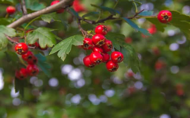 Głóg - odmiany, sadzenie, uprawa i pielęgnacja głogu