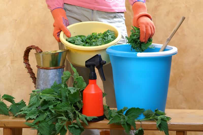Gnojówka z pokrzyw - skład, proporcje, nawożenie, zastosowanie