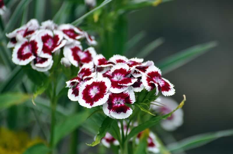 Goździk brodaty w okresie kwitnienia