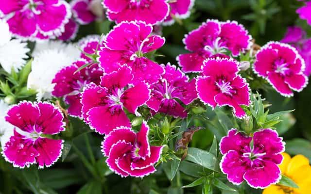 Goździk chiński (Dianthus chinensis) - uprawa, pielęgnacja, odmiany
