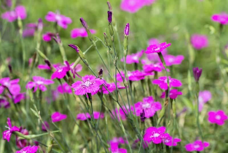 Goździk kropkowany w okresie kwitnienia