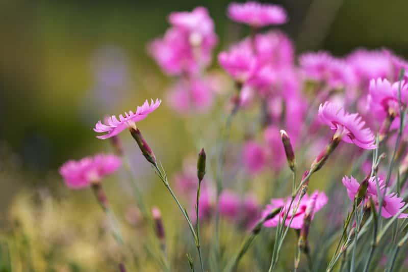 Goździk siny (Dianthus gratianopolitanus) - odmiany, uprawa, pielęgnacja