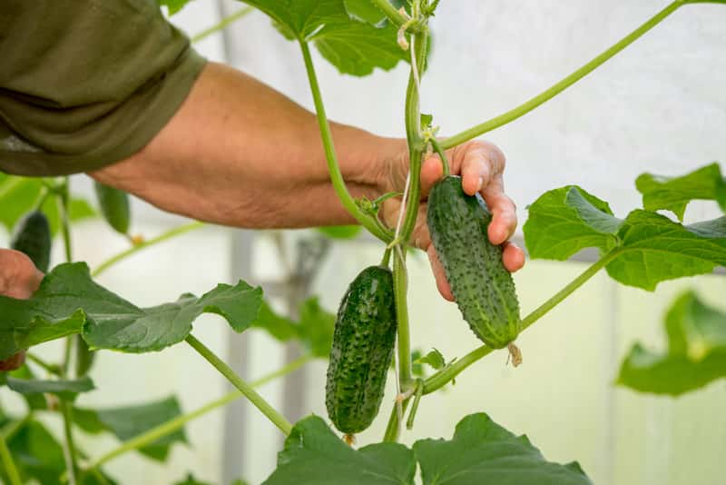 Ogórki gruntowe – popularne odmiany, wysiew, pielęgnacja, zbiór, choroby