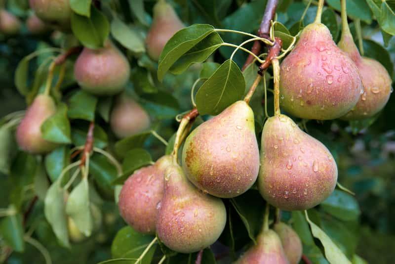 Dojrzałe owoce gruszki na drzewie