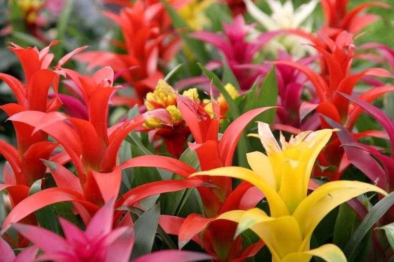 Kolorowa guzmania w okresie kwitnienia
