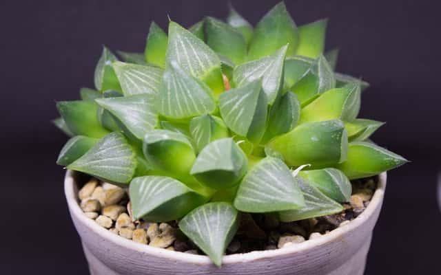 Haworsja cooperi (Haworthia cooperi) - uprawa, pielęgnacja, porady, wymagania
