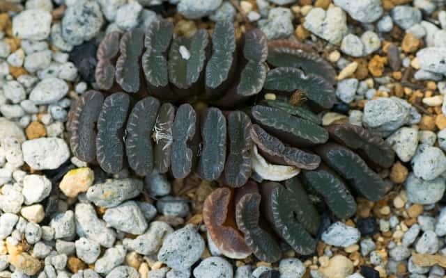 Haworsja truncata (Haworthia truncata) - uprawa, pielęgnacja, podlewanie
