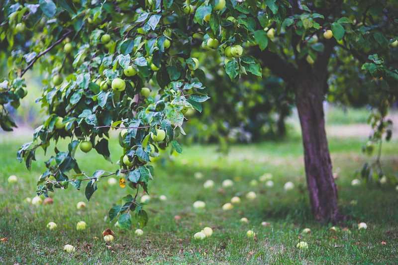 Zdrowa jabłoń w ogrodzie