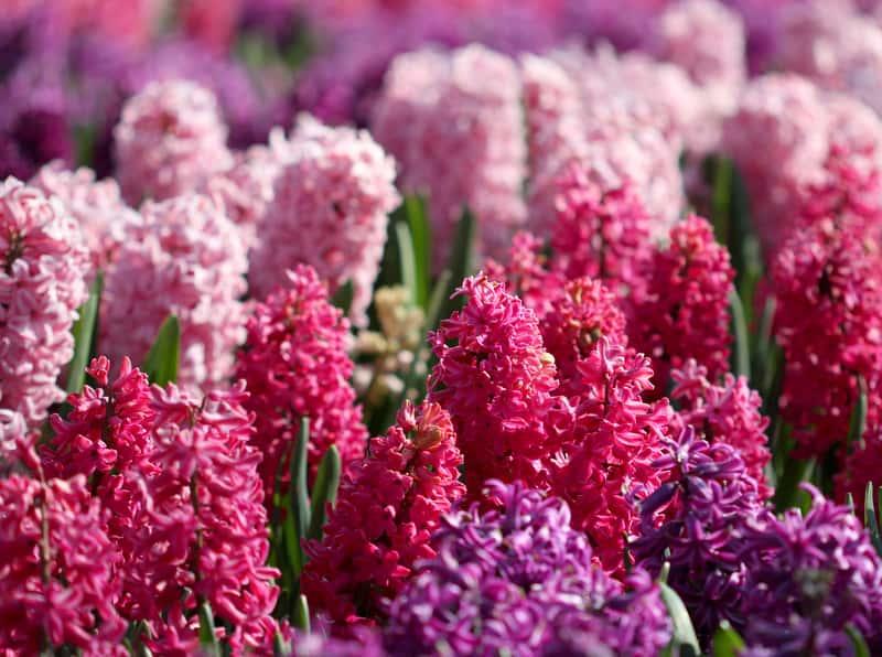 Hiacynt w ogrodzie - odmiany, wymagania, uprawa, pielęgnacja, podlewanie