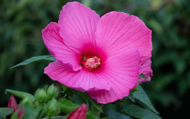 Hibiskus bagienny - uprawa, pielęgnacja, zimowanie, wymagania
