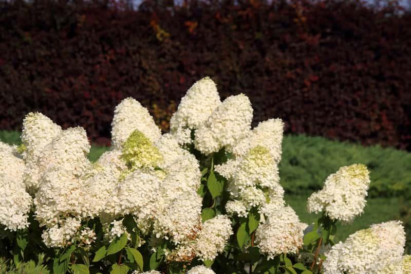 Hortensja bukietowa w ogrodzie w czasie kwitnienia