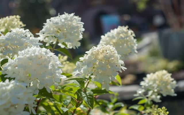 Hortensja drzewiasta (krzewiasta) - sadzenie, pielęgnacja,  rozmnażanie, porady