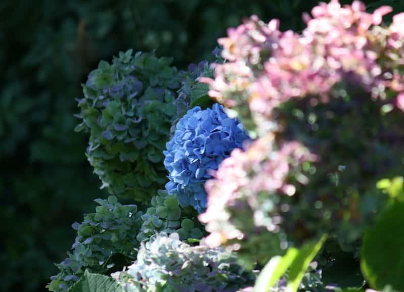 Piękne hortensje w ogrodzie