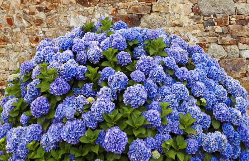 Hortensja niebieska w ogrodzie