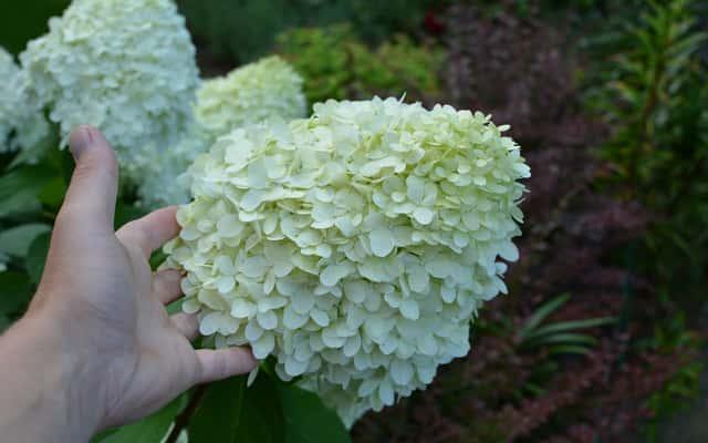 Hortensja phantom - wymagania, sadzenie, uprawa, pielęgnacja, porady