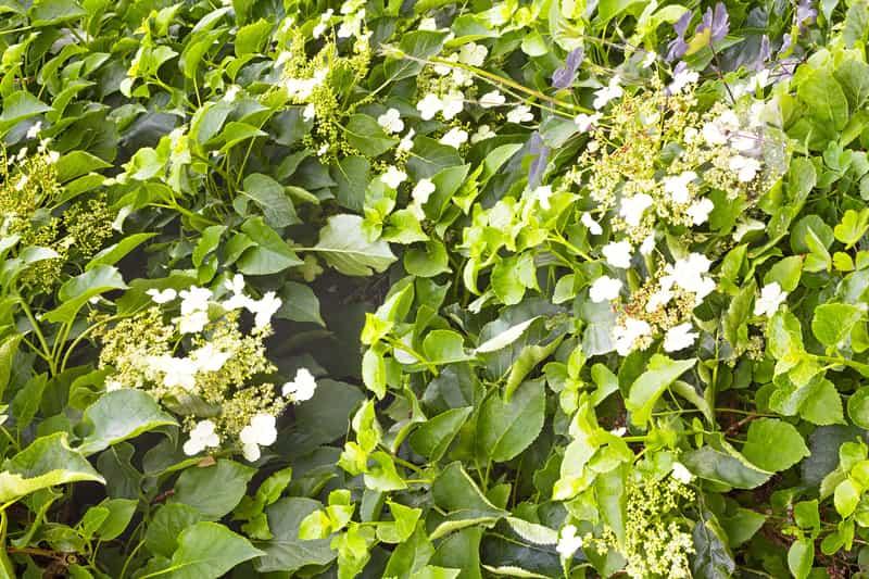 Hortensja pnąca w okresie kwitnienia