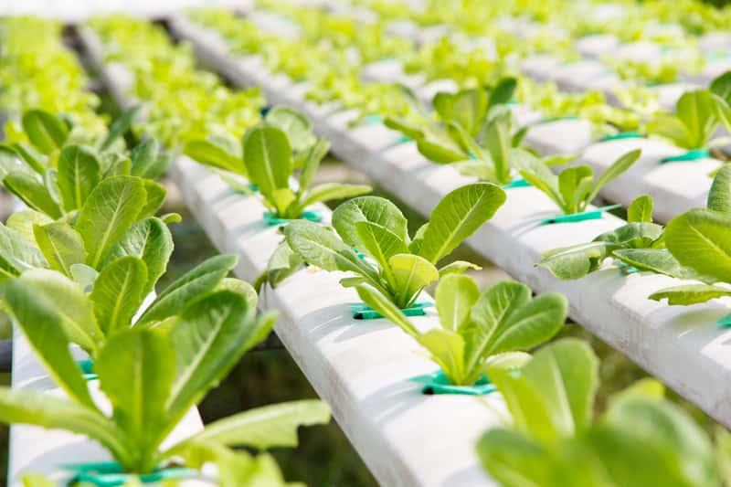 Rośliny w uprawie hydroponicznej