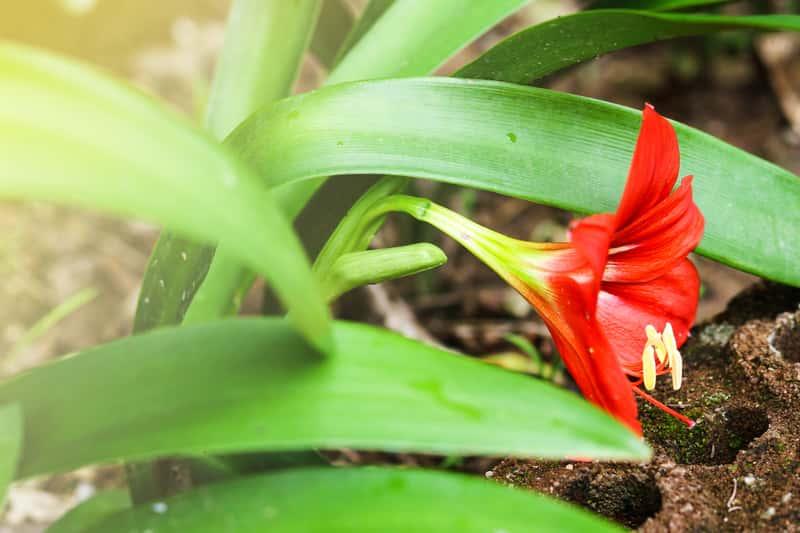 Zwartnica - piękny kwiat - wymagania, uprawa, pielęgnacja, kwitnienie, porady