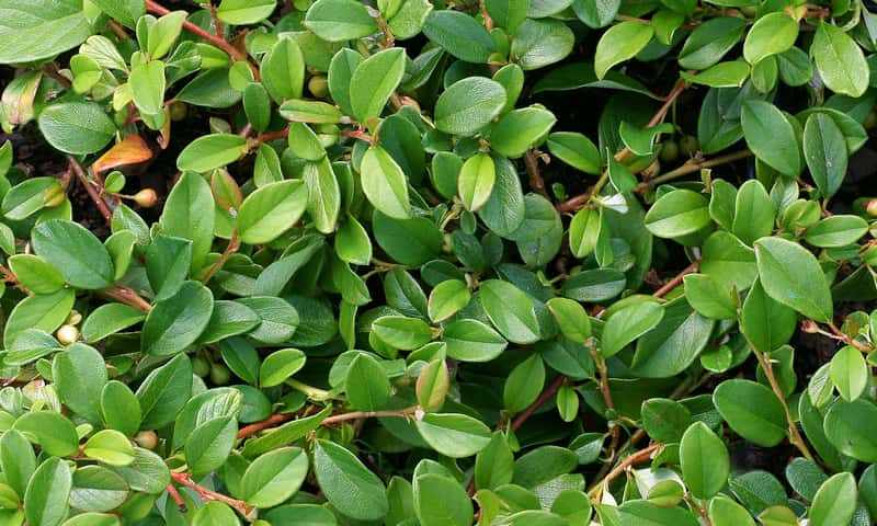 Irga dammera major z zielonymi liśćmi