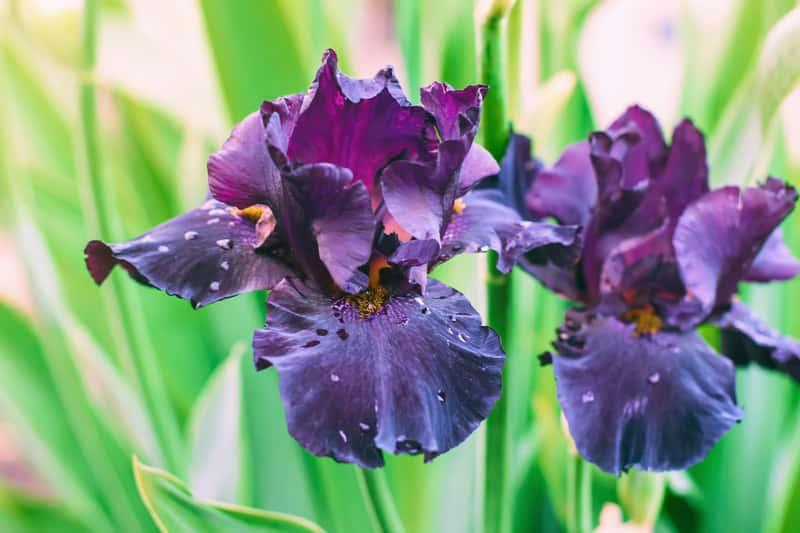 Irysy cebulowe (kosaćce) - sadzenie, uprawa, pielęgnacja, zimowanie, porady