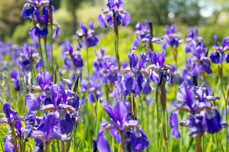 Irysy w okresie kwitnienia