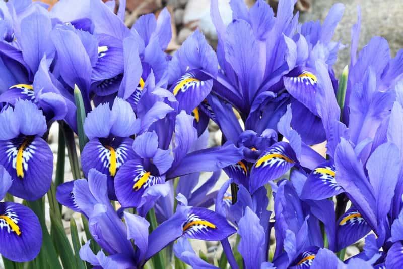 Irys holenderski (kosaciec holenderski) - sadzenie, uprawa, pielęgnacja, zimowanie