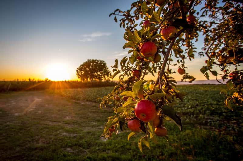 Jabłoń antonówka na tle słońca