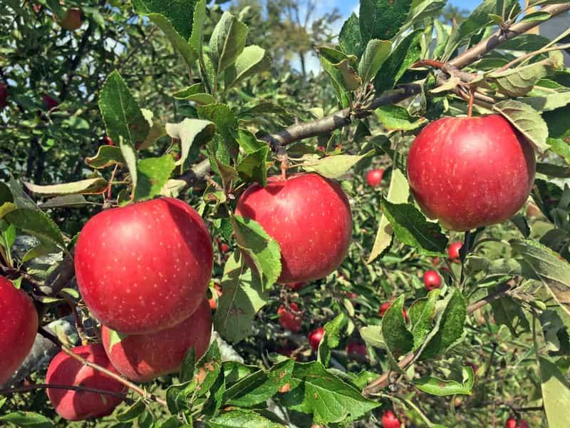 Jabłoń Jonagold z owocami