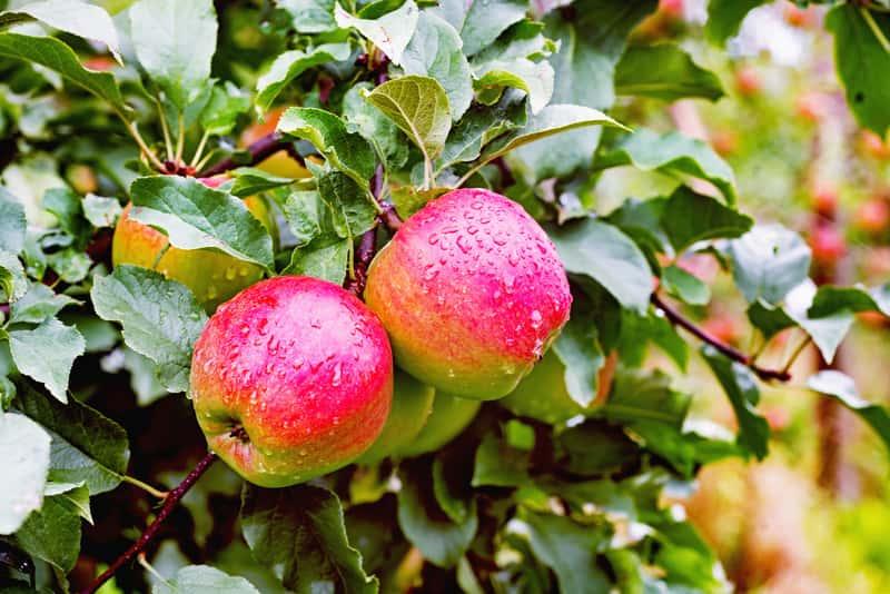 Jabłoń Ligol w ogrodzie