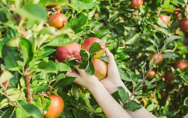 Jabłoń - najpopularniejsze odmiany, sadzenie, cięcie, pielęgnacja i inne porady