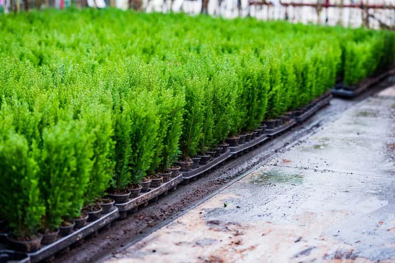 Zielone tuje w ogrodzie