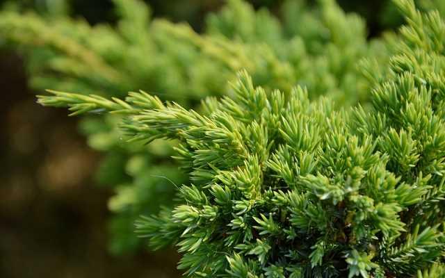 Jałowiec - poradnik na temat drzew iglastych do Twojego ogrodu