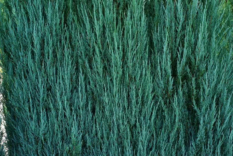 Jałowiec blue arrow w ogrodzie
